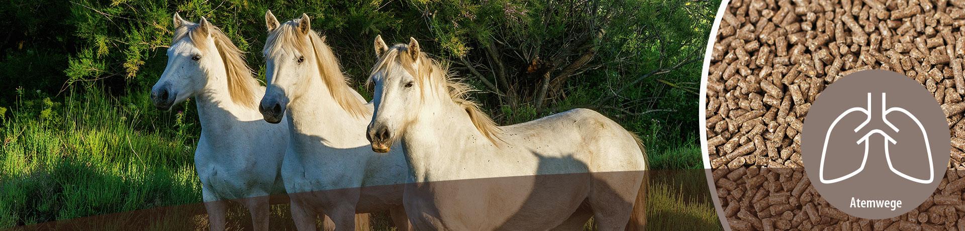 Pferd - Unterkategorie - Atemwege